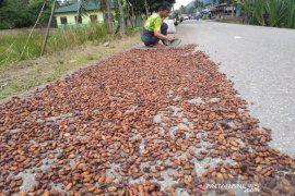 Harga kakao anjlok di Aceh Timur akibat diserang hama