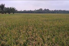 Harga GKG petani di Langkat Rp5.300 per kilogram