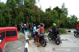 Suami istri tertimpa pohon tumbang di Kuala Pembuang
