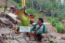 Bunga bangkai raksasa langka telah mekar di Air Terjun Tirai Lampung