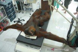 Orangutan Sumatera ditembak liar, 24 peluru bersarang di tubuh