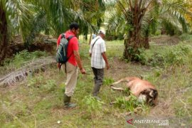 Harimau meresahkan warga, sudah lima ekor sapi dan tiga kambing dimangsa