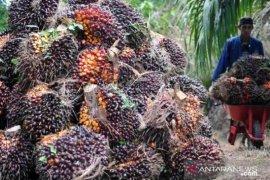 Harga CPO di Jambi turun hingga Rp156 per kilogram