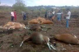 Belasan sapi tewas tersambar petir di Kupang