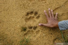 Hoaks tentang harimau di medsos, dari jejak tapir hingga suara gajah