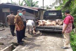 22.985 ekor babi mati di Sumut akibat virus hog cholera