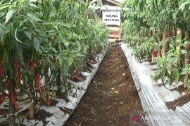Kabupaten Sukabumi surplus cabai merah capai 200 kuintal tiap tahun
