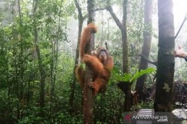 PLTA Batang Toru dukung BBKSDA Sumut melepasliarkan Orangutan Paya