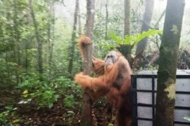 BBKSDA Sumut lepasliarkan  orangutan di Cagar Alam Sibual-buali