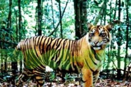RAPP Riau  bantah harimau sumatera liar muncul di dalam lingkungan kompleks