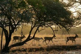 BKSDA: Sumber makanan menipis sebabkan harimau keluar teritori