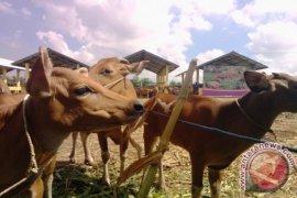 NTB stop pengiriman sapi ke daerah lain