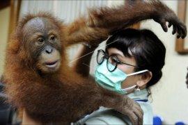 Translokasi orangutan
