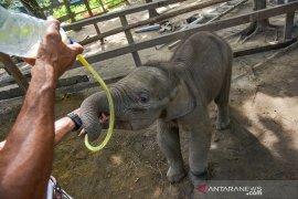 """Bayi gajah bernama """"Puan"""" minum susu dari selang akibat induknya terpisah"""