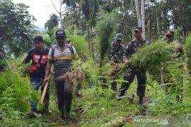 TNI-Polri musnahkan lima hektare ladang ganja di Aceh Utara