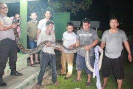 Warga temukan ular python 4,5 meter