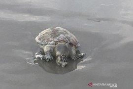 Pemancing temukan penyu mati yang ke-26 di pantai Teluk Sepang