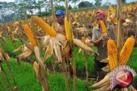 Komisi II dorong pemerintah wujudkan daerah produsen jagung