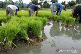 Pemprov Bengkulu kembangkan padi varietas lokal