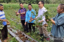 Komoditas Bengkuang Bengkayang sudah ekspor ke Sarawak