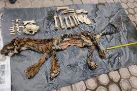 Tim gabungan Polda Aceh tangkap penjual kulit harimau