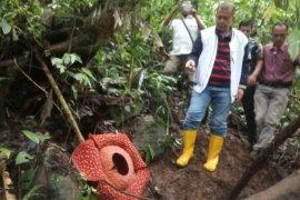 Agam jadi 'surga' Bunga Rafflesia di Indonesia