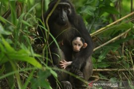 Bayi kera hitam Sulawesi Page 1 Small