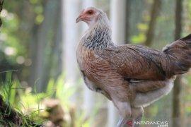 Ayam kampung unggul IPB D-1 dikembangkan