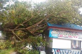Di Badung, sejumlah pohon tumbang akibat angin kencang