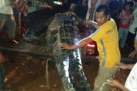 Buaya 'raksasa' yang meresahkan warga berhasil ditangkap