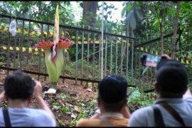 Bunga bangkai mekar di Bogor
