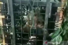 Seekor harimau sumatera masuk perangkap di Muara Enim