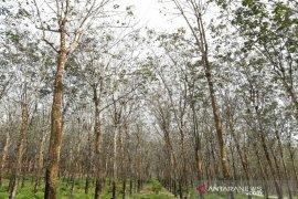 Musim gugur daun landa tanaman karet  Sumatera Utara