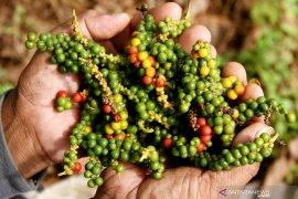 Kementan dorong petani Belitung jual lada dalam bentuk kemasan