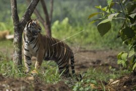 Harimau Sumatera mangsa dua ekor sapi ditangani BBKSDA Riau