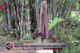 Warga Sibolangit dihebohkan dengan bunga bangkai langka (video)