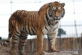 Harimau sumatera masuk perangkap BKSDA di Muara Enim