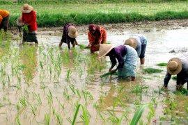 Petani Abdya kejar waktu tanam padi rendengan