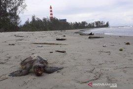 Kasus kematian 28 penyu di Bengkulu: Perlu penyelidikan secara utuh