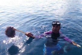 Bintang laut berduri mengancam terumbu karang Raja Ampat