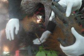 BBKSDA Sumut lepasliarkan orangutan di hutan lindung Tapteng