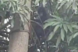 Tiga ekor monyet langka, surili berkeliaran di Cibeber, Cianjur