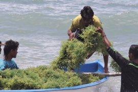 KKP targetkan produksi 10,99 juta ton rumput laut tahun 2020