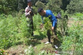 Di Mandailing Natal,  tim gabungan musnahkan lima hektare lahan ganja