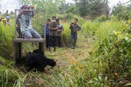 Pelepasliaran beruang jantan di Ketapang