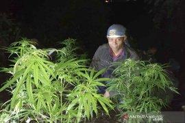 BKSDA sterilisasi hutan Gunung Guntur dari tanaman ganja