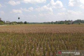 Produksi padi  di Belitung menurun