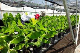 Di Blitar, pemkab dorong petani budi daya Pisang Cavendish