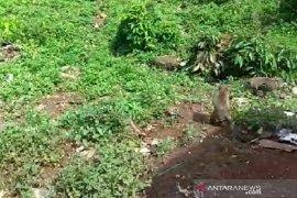 Kawanan monyet asal hutan Gunung Ciremai serbu rumah dan lahan pertanian warga