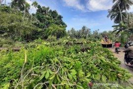 Pohon tumbang rusak jaringan listrik di Gunungsitoli
